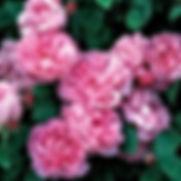 Rose - 'Mary Rose'.jpg