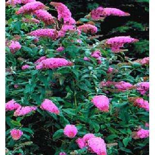 Buddleia davidii 'Pink Delight'