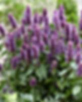 Agastache - 'Beelicious Purple'.jpg