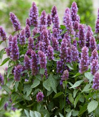 Agastache - 'Beelicious Purple'
