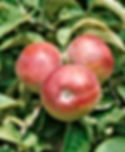 B & B - McIntosh Apple.jpg