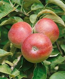 B & B - McIntosh Apple.jpg