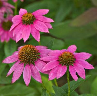 Echinacea - 'PowWow Wild Berry'