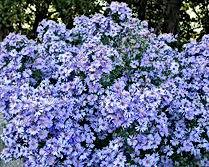 Aster - Bluebird.jpg