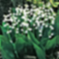 Convallaria - Lily of the Valley.jpg