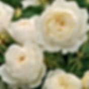 Rose - claireaustin.jpg
