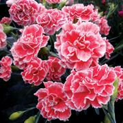 Dianthus - scent first - coral reef