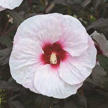 Hibiscus - 'Mocha Moon'