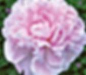 Peony - Sarah Bernhardt.Jpg