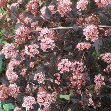 Physocarpus - 'Little Devil'
