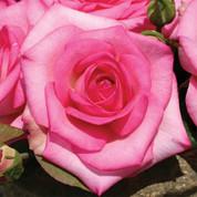 Rosa - 'Beverly Hybrid Tea' Rose.jpg
