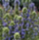 lobelia_siphilitica blue cardinal.jpg
