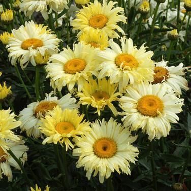 Leucanthemum - 'Goldfinch'
