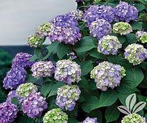 Hydrangea - BloomStruck.jpg