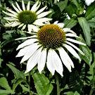 Echinacea - Happy Star.jpg