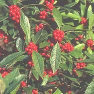 Ilex Verticillata - 'Winter Red'