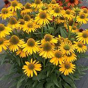 Echinacea - Kismet Yellow.jpg