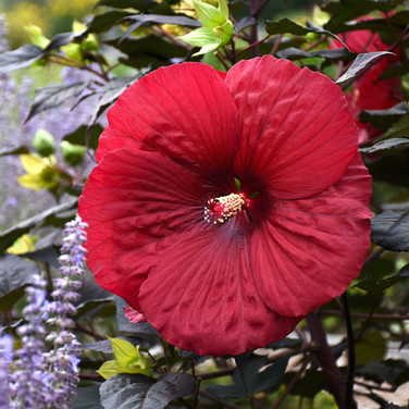 Hibiscus - 'Holy Grail'