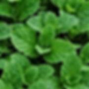 Mint - Mojito.jpg