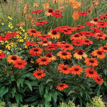 Echinacea-'Intense Orange'