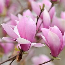 Magnolia - Jane.jpg