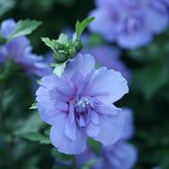 Hibiscus - 'Blue Chiffon'