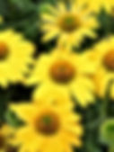 Echinacea - 'Lemon Yellow'.jpg