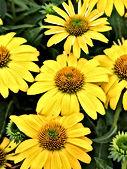 Echinacea - 'Lemon Yellow'.jpg