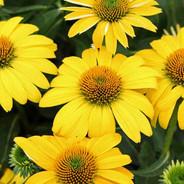 Echinacea - 'Lemon Yellow'