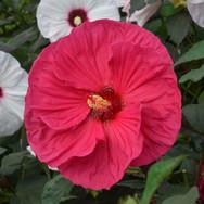 Hibiscus - 'Summer in Paradise'