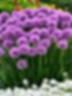 Allium - 'Millenium'.jpg
