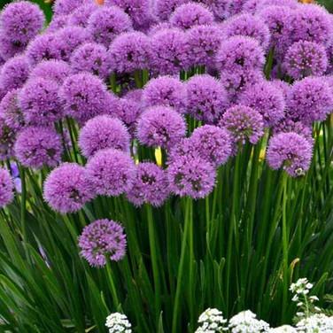 Allium - 'Millenium'