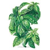 Basil-Italian-Genovese-ORG.jpg