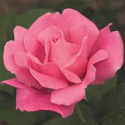Rose - Perfume Delight Hybrid Tea.jpg