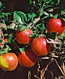 B & B - Honeycrisp Apple.jpg