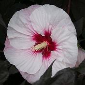 Hibiscus - Perfect Storm - 2.jpg
