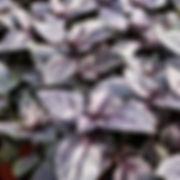 Basil - Amethyst - 2.jpg