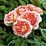 Rose - Carding Mill.jpg