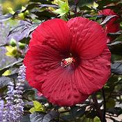 Hibiscus - Holy Grail.jpg