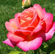 Rose - 'Chicago Peace'.jpg