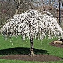 Weeping Cherry - Snow Fountain.jpg