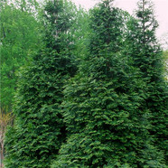 Arborvitae - 'Green Giant'.jpg