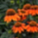 Echinacea - Adobe Orange.jpg