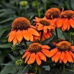 Echinacea - Adobe Orange.jpg