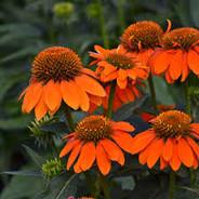 Echinacea - 'Adobe Orange'