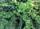 Boxwood - Winter-Gem.jpg