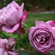 Rose - 'Heirloom'.jpg