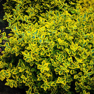 Euonymous - Emerald-n-Gold.jpg