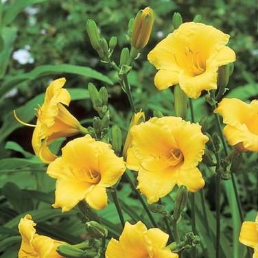 Hemerocallis 'Stella D'oro'