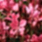 Gaura - Dark Pink.jpg